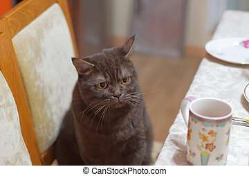 The Scottish brown chocolate cat sits on a chair near the dinner table with an angry look and also wants to eat.