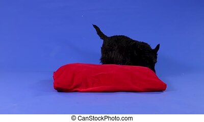 The Scottish Terrier walks around the red pillow and sniffs at it. Pet in the studio on a blue background. Slow motion. Close up.