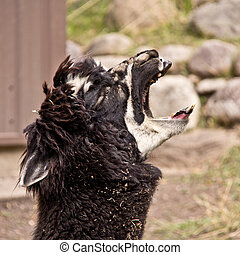 The screaming Llama - A llama screaming its lungs out ...