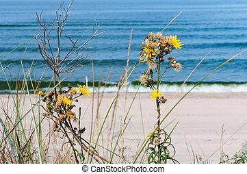 the sea coast sandy beach of the Baltic sea, yellow flowers on the beach