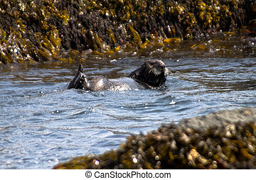 The Sea Otter floats on back among sea girdle - The Sea...