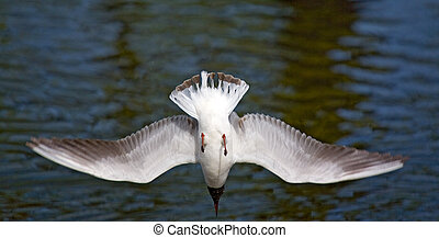 seagull dives into water