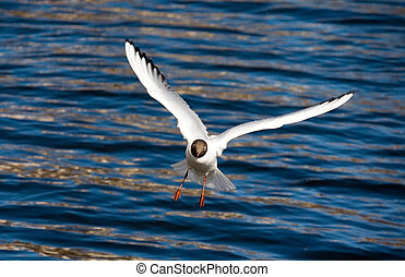 The seagull in flight