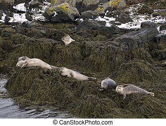 The seals in Iceland sunbathe on the seaweed