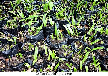 Seedlings in black plastic bags.