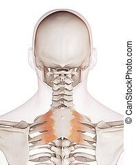 The serratus posterior superior - medically accurate muscle ...