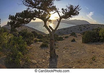The setting sun through the tree juniper. Crimea, September.