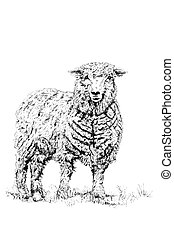 The Sheep - Sheep standing alone, over white background. Pen...