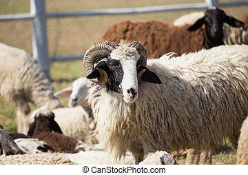 The sheeps on a farm