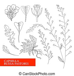 The shepherd's purse. Shepherd's bag. Botanical illustration. folk medicine, treatment, aromatherapy, packaging design, field bouquet. Medicinal plants. Vector illustration isolated on a white backgro