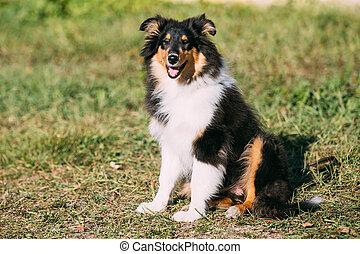 The Shetland Sheepdog, Sheltie, Collie Puppy Outdoor