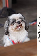The Shih Tzu Are viewed with suspicion.
