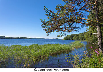 The shore of the Ladoga lake in Russia with a pine tree and the cane in the water with the mountains and the forest on the skyline in the sunny summer day