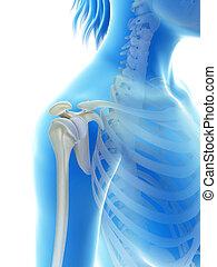 The shoulder joint - 3d rendered illustration of the...
