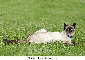 the siamese cat