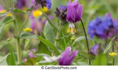 Erythronium Sibiricum. Liliaceae. - The Siberian primroses-...