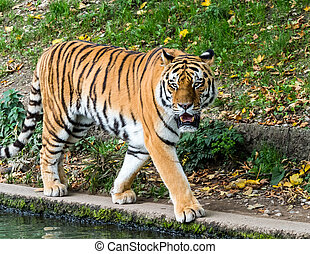 The Siberian tiger, Panthera tigris altaica in the zoo