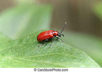 The side view of a scarlet lily beetle