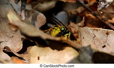 The signs of autumn. Predatory wasp eats its animale prey -...