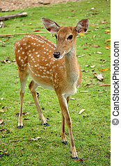 Sika deer - The Sika deer is one of the few deer species ...
