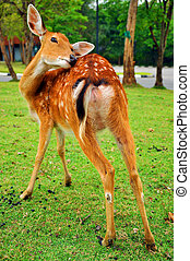 The sika deer inhabits temperate and subtropical woodlands,...