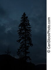 The silhouette of a fir tree at sunset