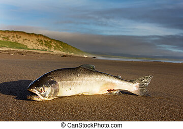 the Silver salmon cast ashore by surge of ocean - A female ...