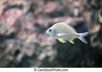 The Silver sea fish.