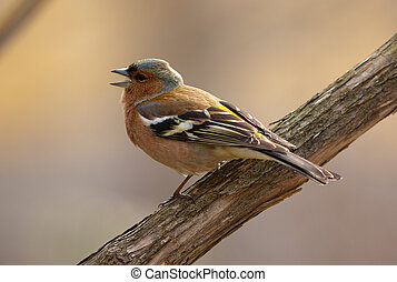 The singing chaffinch