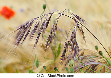 the single ear of the barley among the field of the wheat