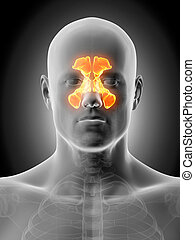 The sinuses - Anatomy illustration showing the sinuses