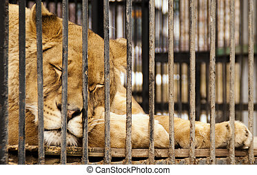 The sleeping lioness behind bars in a zoo