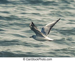 the Small Seagull (Hydrocoloeus minutus) winter