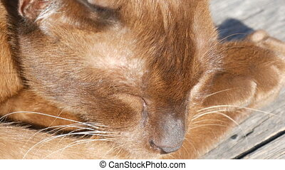 The smooth-haired cat lies with closed eyes. Macro close up....