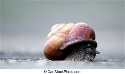 The snail Arianta arbustorum slowly crawls out of its shell....
