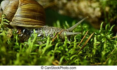 The snail crawls along the forest moss. Snail in the forest 40.