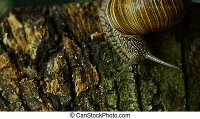 The snail crawls along the forest moss. Snail in the forest...