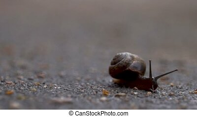 The snail crawls along the wet asphalt with antennas