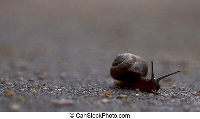 The snail crawls along the wet asphalt with antennas