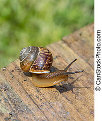 snail crawling on the edge of old boards on the background of green plants