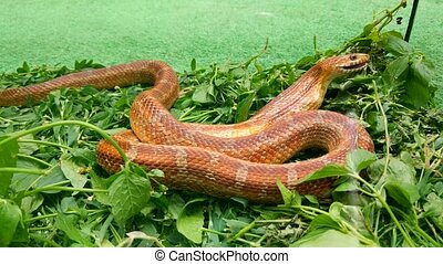 The snake eats a mouse - The snake slowly swallows the mouse...