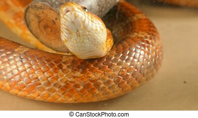 The snake shows its forked tongue. - The snake shows its...