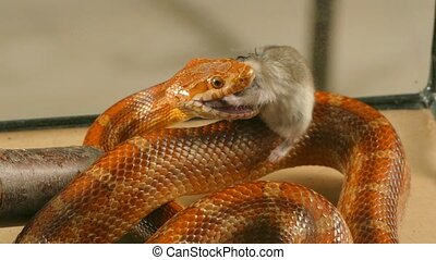 the snake swallows the mouse - The snake swallows the dead...