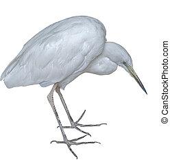 the Snow white Egret on a white