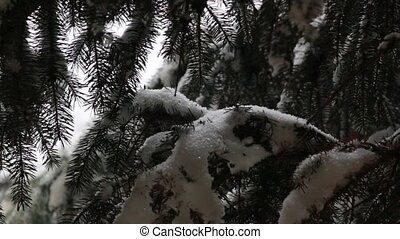 The Snowfall On The Spruce - The heavy snowfall on a branch...