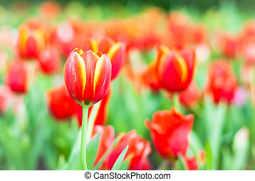 the soft focus of colorful tulip flower garden in spring season