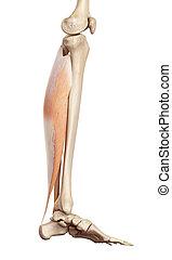 The soleus - medical accurate illustration of the soleus