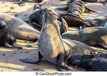 The South African fur seal rookery