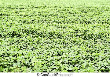 the Soy field.