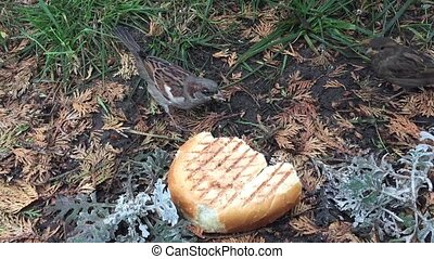 the sparrow eats bread on the ground. a hungry flock of sparrows eats bread outdoors